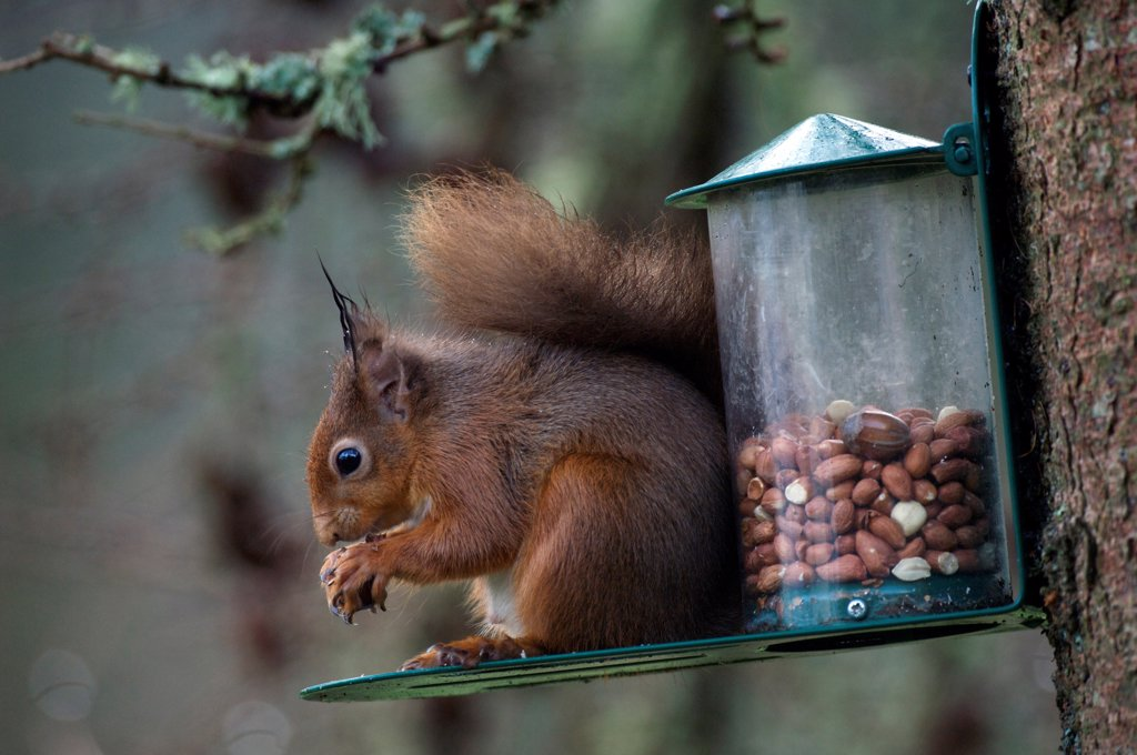 Stock Photo: 4421-21875 Eurasian Red Squirrel (Sciurus vulgaris) adult, feeding on nuts at feeder, Dumfries and Galloway, Scotland, winter