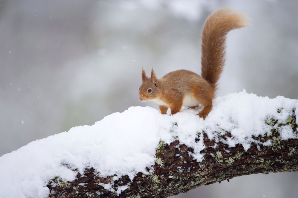 Stock Photo: 4421-21913 Eurasian Red Squirrel (Sciurus vulgaris) adult, standing on branch in deep snow, Cairngorm N.P., Highlands, Scotland, march