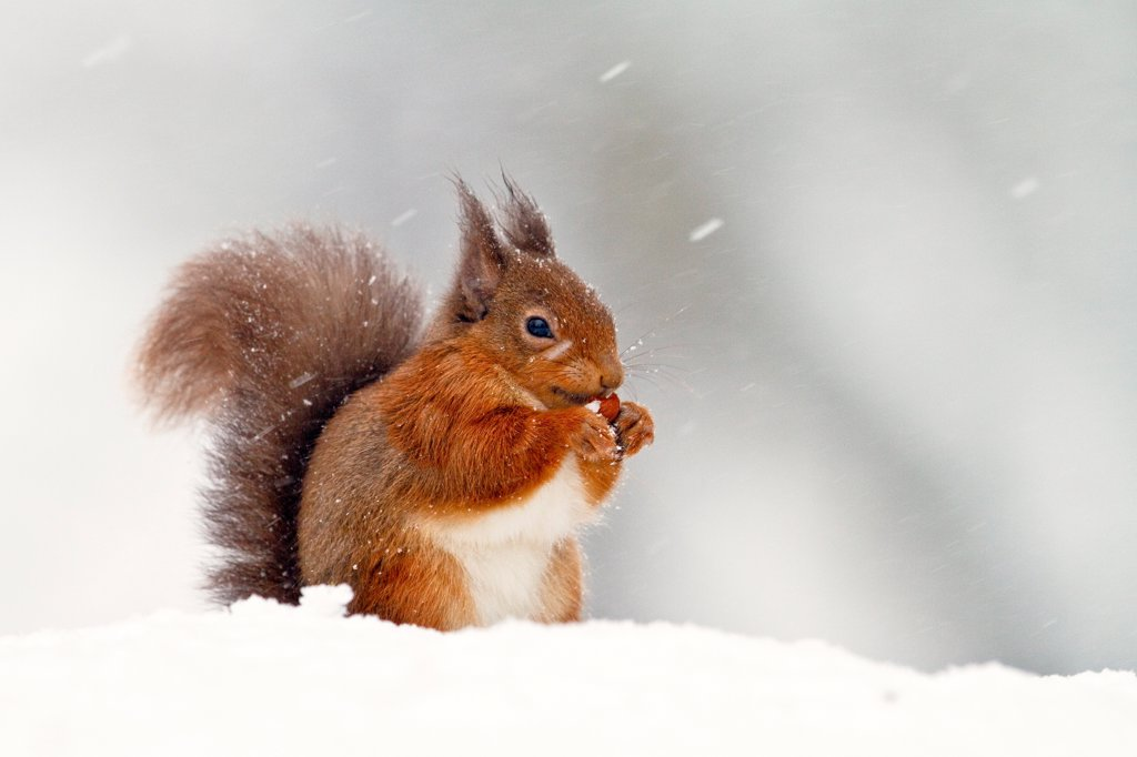 Eurasian Red Squirrel (Sciurus vulgaris) adult, feeding, sitting in snow during snowfall, Cairngorms N.P., Highlands, Scotland, december : Stock Photo
