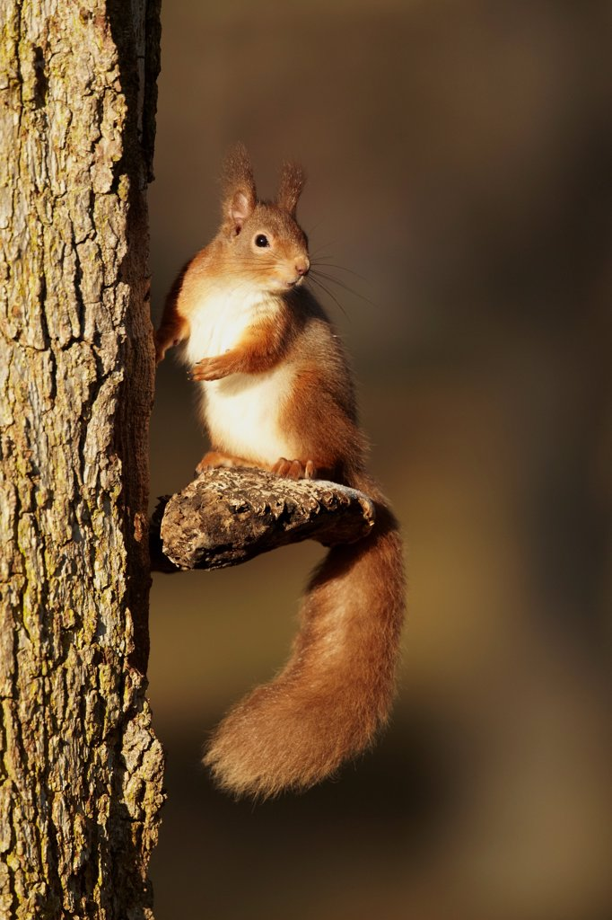 Eurasian Red Squirrel (Sciurus vulgaris) adult, sitting on bracket fungus attached to tree trunk, Highlands, Scotland, february : Stock Photo