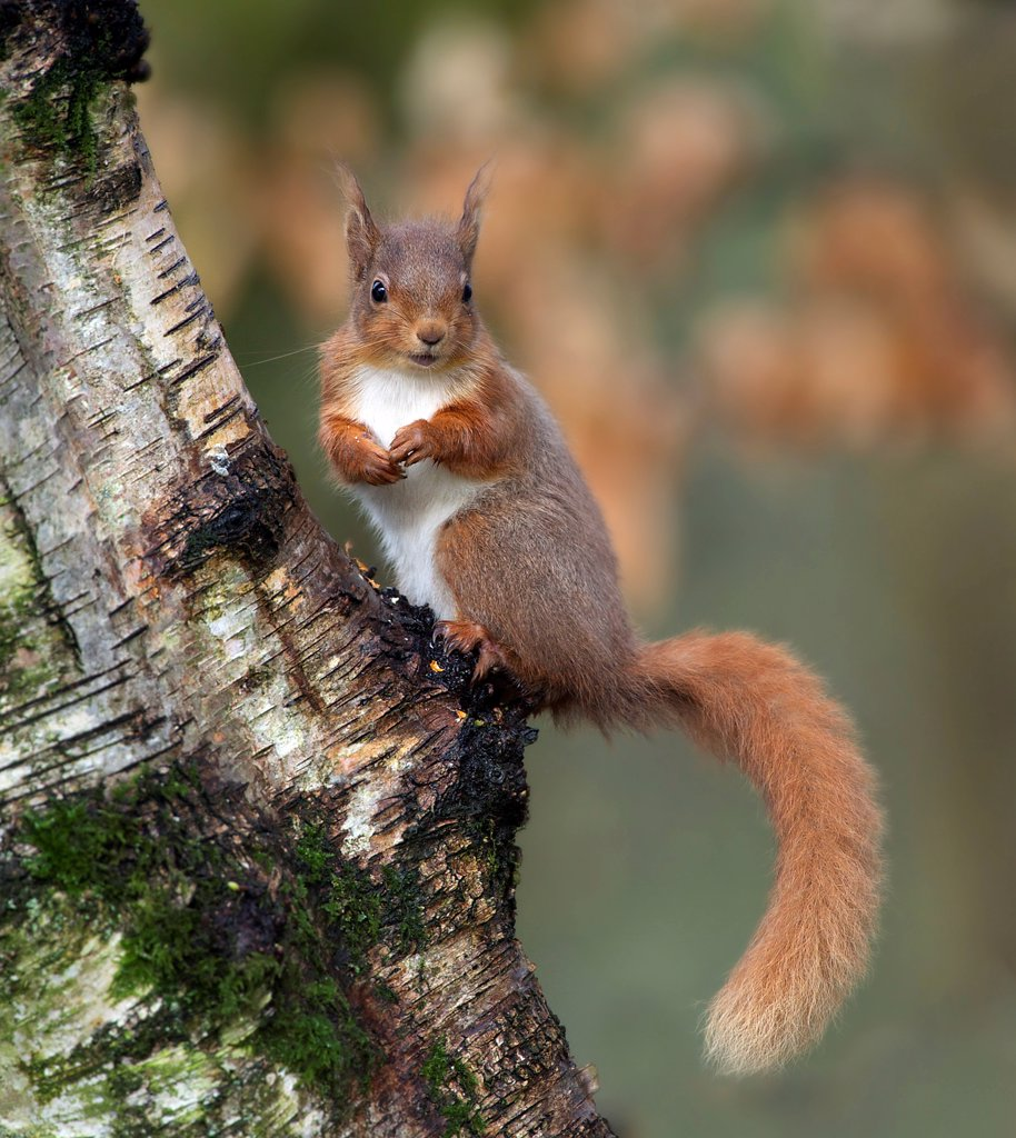 Stock Photo: 4421-21952 Eurasian Red Squirrel (Sciurus vulgaris) adult, sitting on tree trunk, Dumfries and Galloway, Scotland, april