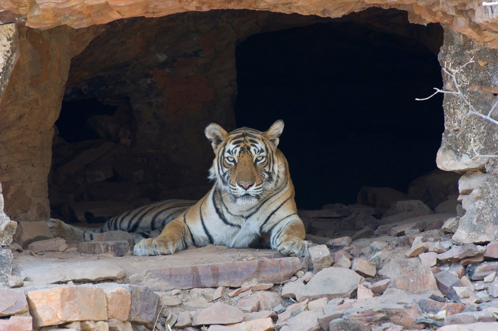 Stock Photo: 4421-22006 Indian Tiger (Panthera tigris) adult, resting in hermits cave, Ranthambore N.P., Rajasthan, India