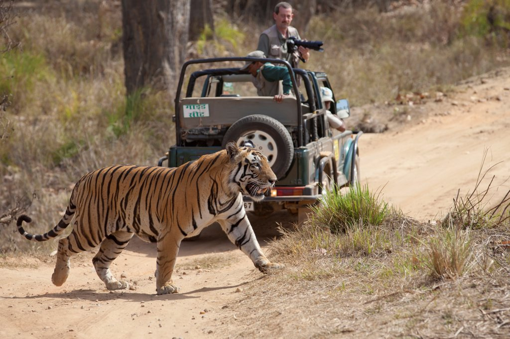 Stock Photo: 4421-22009 Indian Tiger (Panthera tigris) adult, walking across track near off-road vehicle with photographer, Kanha N.P., Madhya Pradesh, India