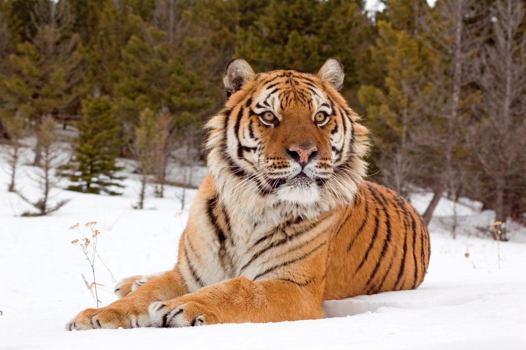 Stock Photo: 4421-22035 Siberian Tiger (Panthera tigris altaica) adult, resting in snow, winter (captive)