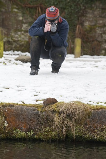 Stock Photo: 4421-22108 Water Vole (Arvicola terrestris) adult, in snow at edge of canal, with photographer, Cromford Canal, Derbyshire, England, winter