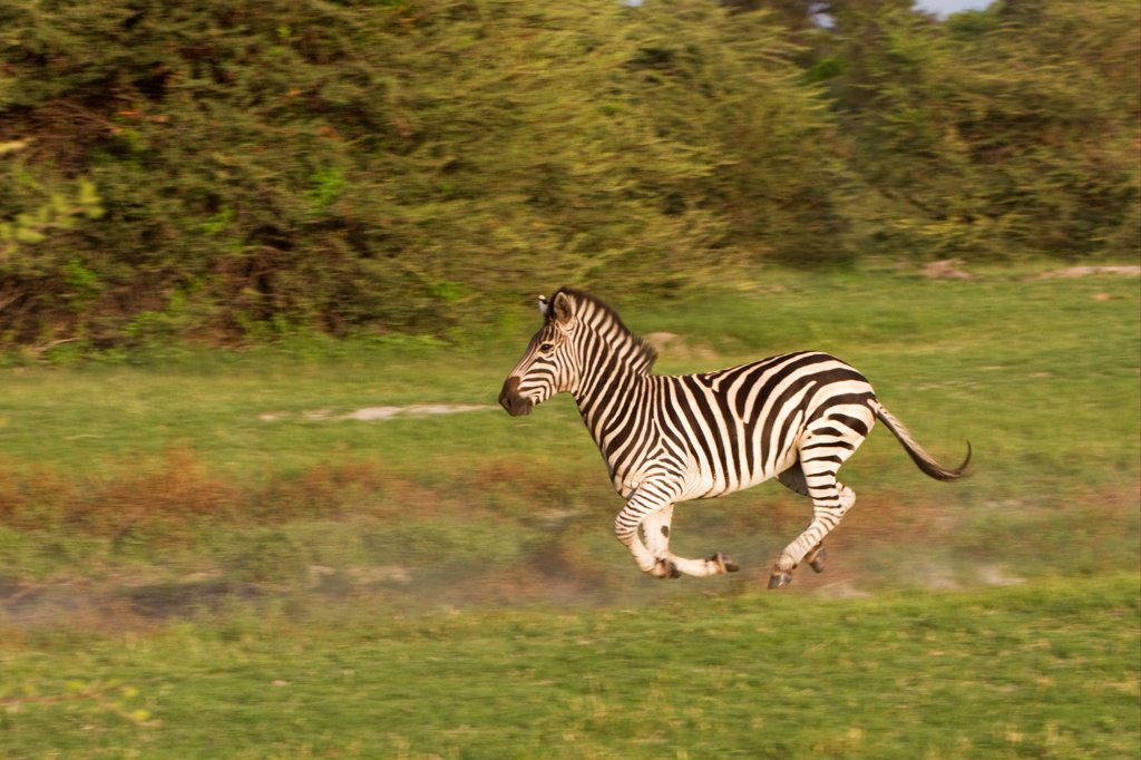 Stock Photo: 4421-22390 Common Zebra (Equus quagga) adult, running on grassland, Okavango Delta, Botswana