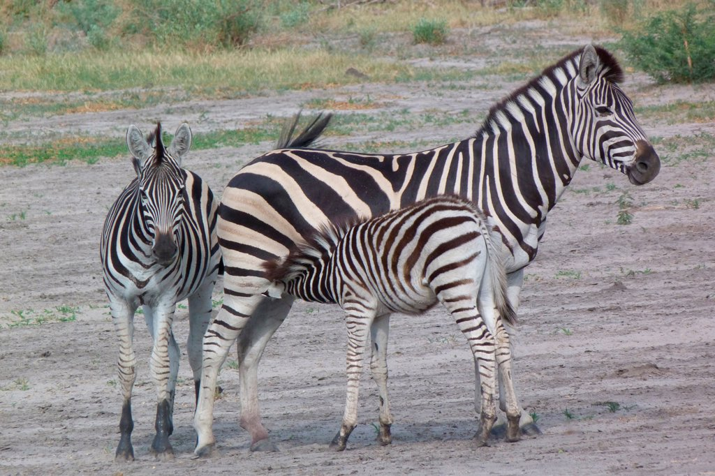 Stock Photo: 4421-22392 Common Zebra (Equus quagga) adult female, yearling and foal, suckling, Okavango Delta, Botswana