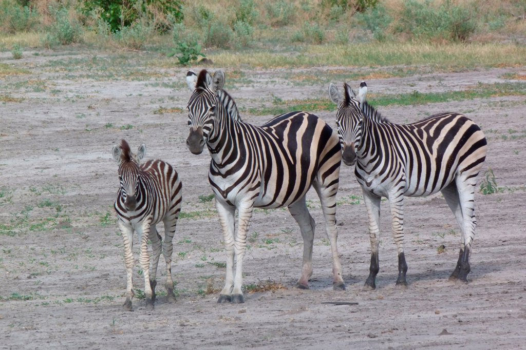 Stock Photo: 4421-22393 Common Zebra (Equus quagga) adult female, yearling and foal, standing, Okavango Delta, Botswana