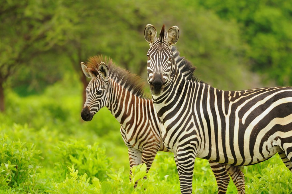 Common Zebra (Equus quagga) adult female with foal, standing in vegetation, Ruaha N.P., Tanzania : Stock Photo