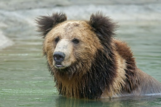 Stock Photo: 4421-22469 Tibetan Bear (Ursus arctos pruinosus) adult, close-up of head, in water, Animals Asia Rescue Centre, Chengdu, Sichuan, China, april