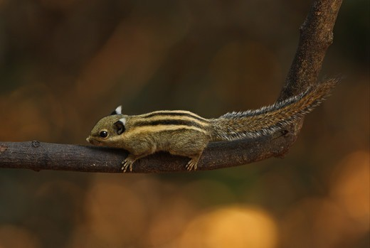 Stock Photo: 4421-22503 Himalayan Striped Squirrel (Tamiops mcclellandii) adult, climbing on branch, Kaeng Krachan N.P., Thailand, february