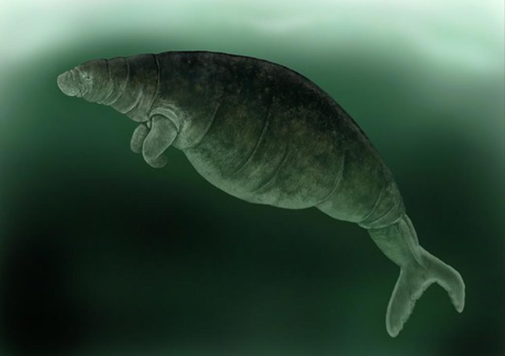 Steller's Sea Cow (Hydrodamalis gigas) extinct species, illustration : Stock Photo