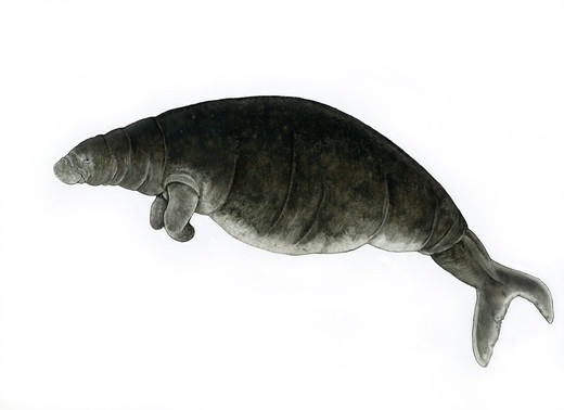 Stock Photo: 4421-22554 Steller's Sea Cow (Hydrodamalis gigas) extinct species, illustration