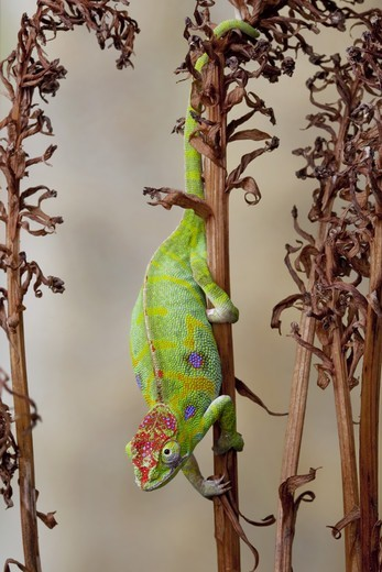 Stock Photo: 4421-22662 Minor's Chameleon (Furcifer minor) adult female, climbing down stem, Madagascar