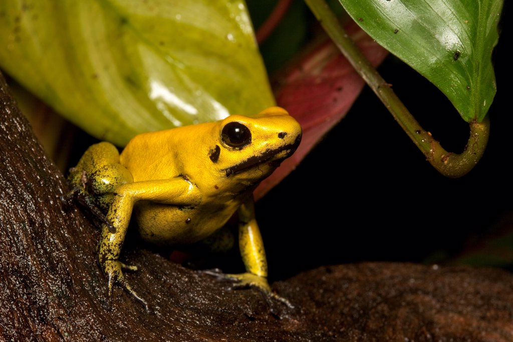 Golden Poison Dart Frog (Phyllobates terribilis) adult, sitting on log, Colombia : Stock Photo
