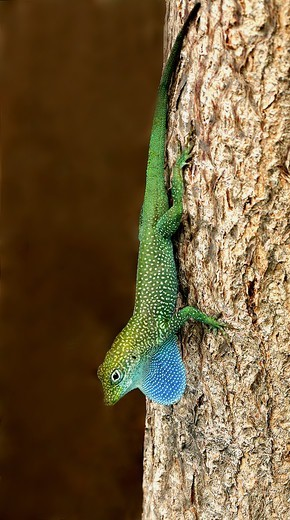 Grand Cayman Blue-throated Anole (Norops conspersus) adult male, displaying with extended dewlap, descending tree trunk, Cayman Islands : Stock Photo