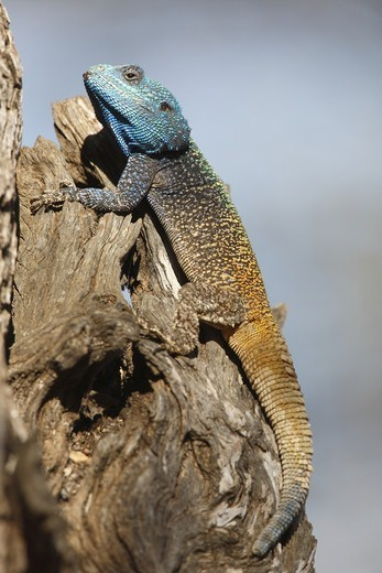 Southern Tree Agama (Acanthocercus atricollis) adult male, resting on tree trunk, Pilanesberg N.P., North West Province, South Africa : Stock Photo
