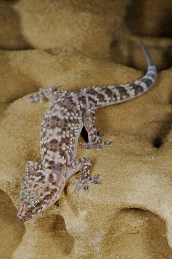 Turkish Gecko (Hemidactylus turcicus) adult, on sandstone rock, Socotra, Yemen : Stock Photo