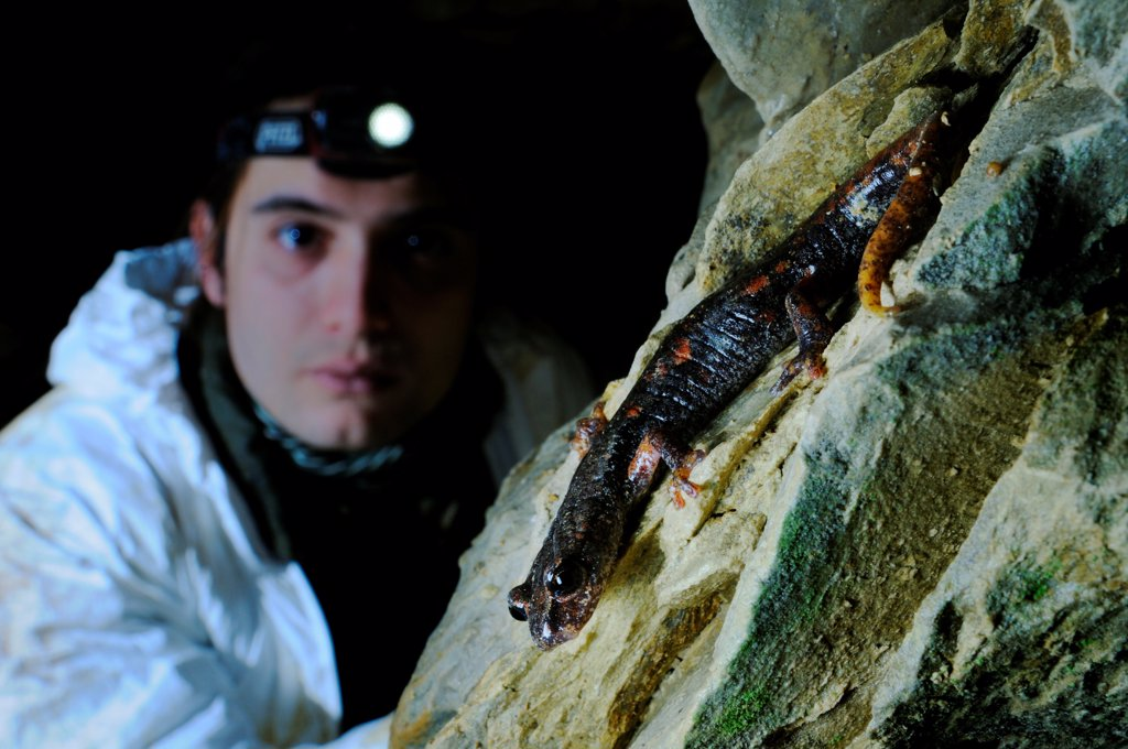 Stock Photo: 4421-23196 Italian Cave Salamander (Speleomantes italicus) adult, watched by speleologist in cave, Italy, january