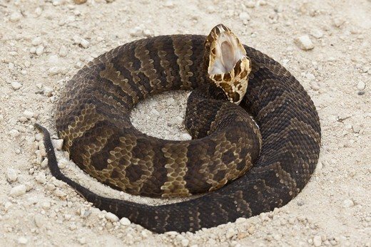 Stock Photo: 4421-23260 Florida Cottonmouth (Agkistrodon piscivorous conanti) adult, in defensive posture, Big Cypress Swamp, Florida, U.S.A.