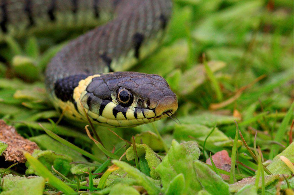 Grass Snake (Natrix natrix) adult, close-up of head, Norfolk, England, june : Stock Photo