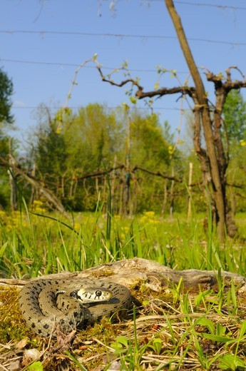Stock Photo: 4421-23282 Grass Snake (Natrix natrix) adult, in cultivated habitat, Italy, april