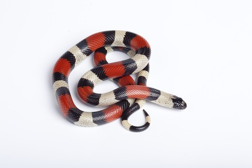 Stock Photo: 4421-23303 Pueblan Milk Snake (Lampropeltis triangulum campbelli) adult