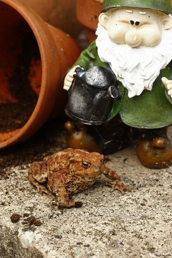 Common Toad (Bufo bufo) adult, sitting beside garden gnome and flowerpots, Midlands, England, summer : Stock Photo