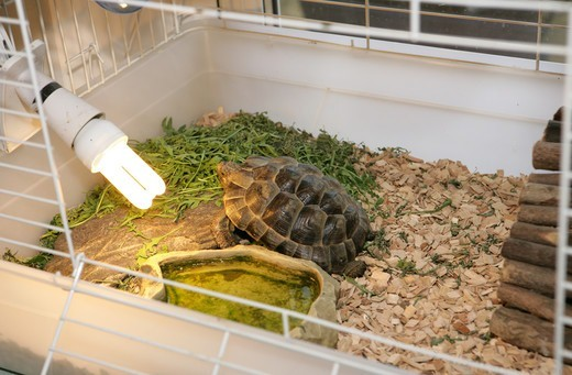 Stock Photo: 4421-23516 Hermann's Tortoise (Testudo hermanni) adult, sunbathing by lightbulb in cage