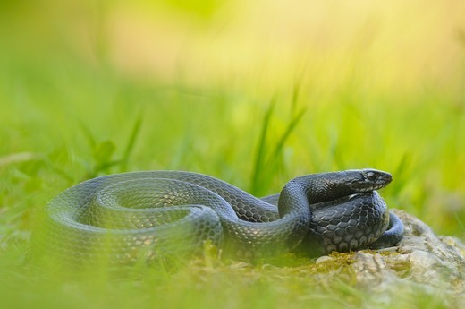 Stock Photo: 4421-23671 Western Whipsnake (Hierophis viridiflavus) melanistic form, adult, basking amongst grass, Italy, april