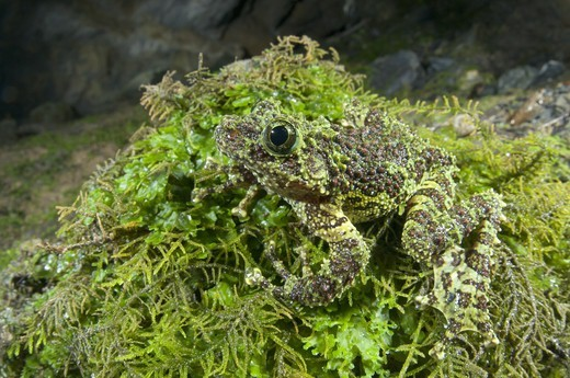 Stock Photo: 4421-23747 Mossy Frog (Theloderma corticale) adult, camouflaged on moss, North Vietnam