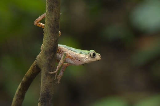 Jaguar Leaf Frog (Phyllomedusa palliata) adult, about to leap from branch, Los Amigos Biological Station, Madre de Dios, Amazonia, Peru : Stock Photo