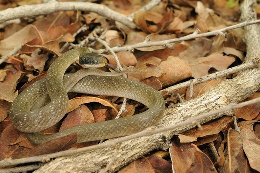 White-lipped Herald Snake (Crotaphopeltis hotamboeia) adult, flicking forked tongue, coiled on leaf litter, Ruaha N.P., Tanzania, january : Stock Photo