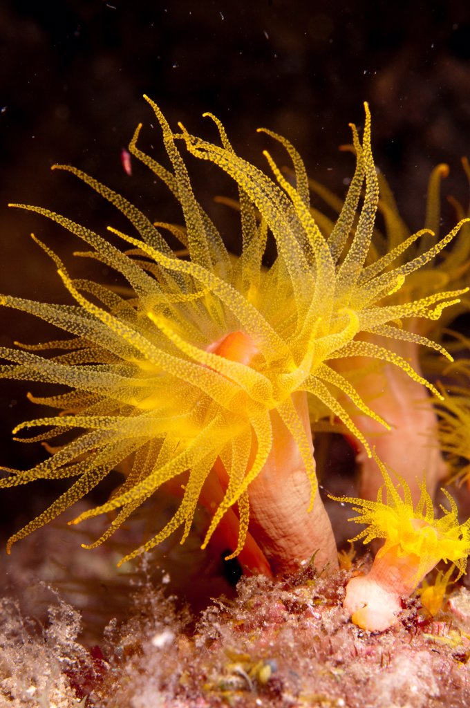 Yellow Coral (Tubastrea faulkneri) close-up of polyps, extended at night, Lembata Island, Solor Archipelago, Lesser Sunda Islands, Indonesia : Stock Photo