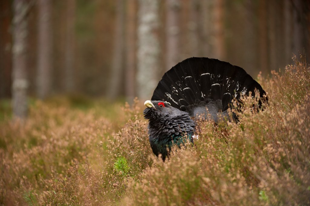 Stock Photo: 4421-2455 Western Capercaillie (Tetrao urogallus) rogue adult male, displaying in pine forest, Cairngorms N.P., Highlands, Scotland, march