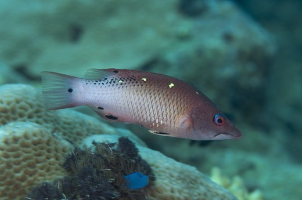 Stock Photo: 4421-24728 Diana's Hogfish (Bodianus diana) adult, swimming in reef, Tutuntute, Wetar Island, Barat Daya Islands, Lesser Sunda Islands, Maluku Province, Indonesia