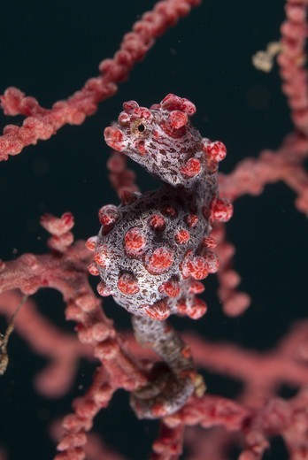 Pygmy Seahorse (Hippocampus bargibanti) adult, clinging to seafan, Lembeh Straits, Sulawesi, Sunda Islands, Indonesia : Stock Photo