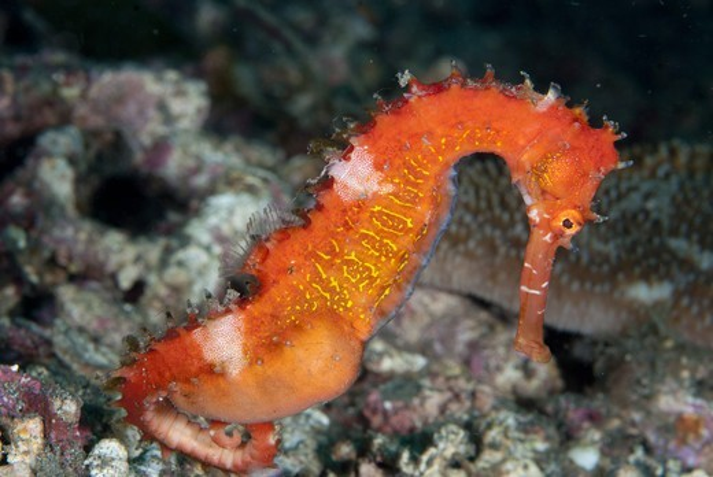 Thorny Seahorse (Hippocampus histrix) adult male, pregnant, Lembeh Straits, Sulawesi, Sunda Islands, Indonesia : Stock Photo