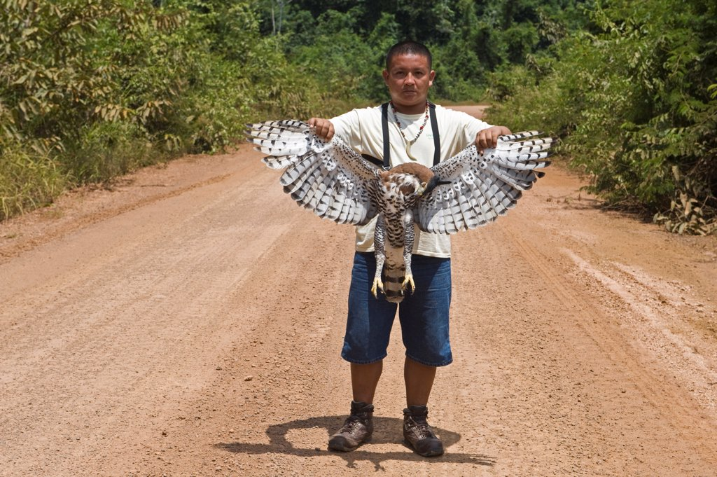 Stock Photo: 4421-2502 Ornate Hawk-eagle (Spizaetus ornatus) adult, dead, road casualty held by guide, Iwokrama Rainforest, Guiana Shield, Guyana, october