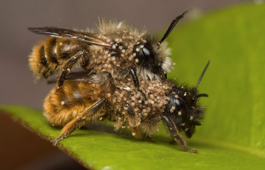 Red Mason Bee (Osmia rufa) adult pair, mating, infested with parasitic mites, Leicestershire, England : Stock Photo