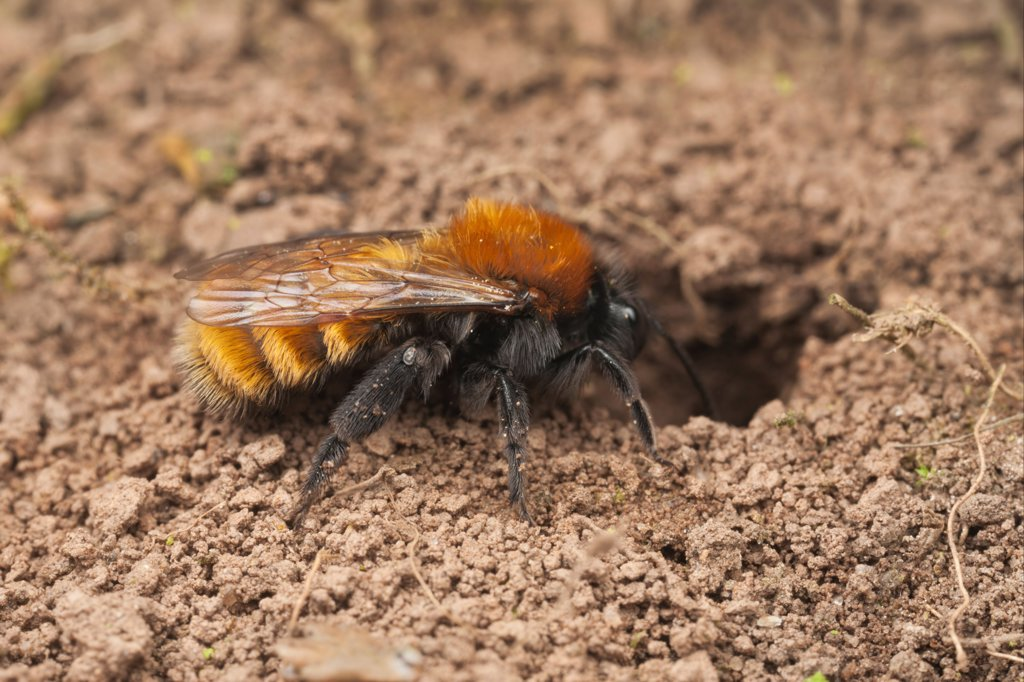 Tawny Mining Bee (Andrena fulva) adult female, entering nest hole, Leicestershire, England, april : Stock Photo