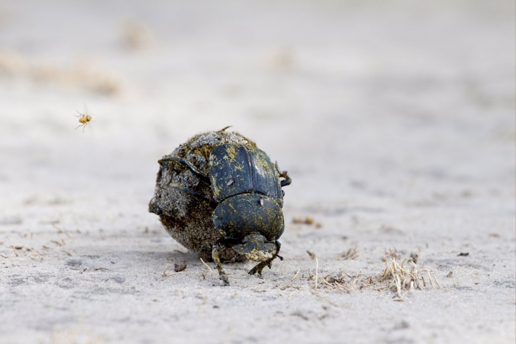 Stock Photo: 4421-25517 Dung Beetle (Scarabaeidae sp.) adult, rolling ball of dung, with fly in flight, Okavango Delta, Botswana