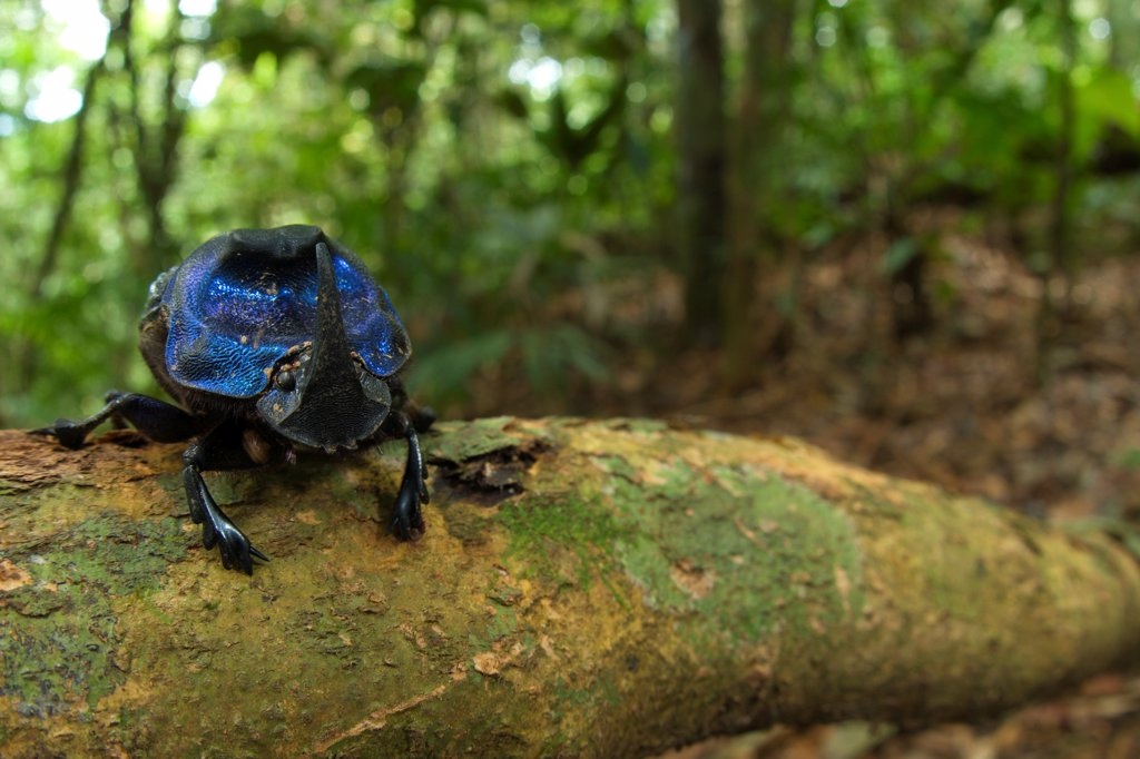 Dung Beetle (Scarabaeidae sp.) adult, on branch in tropical forest habitat, Los Amigos Biological Station, Madre de Dios, Amazonia, Peru : Stock Photo