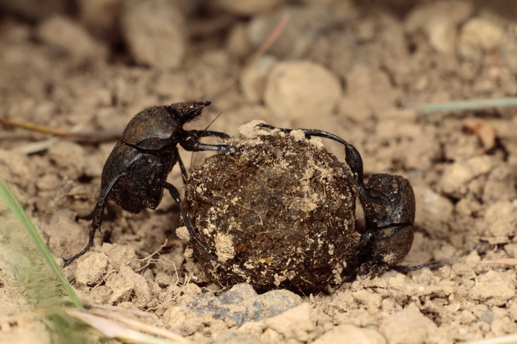 Stock Photo: 4421-25522 Dung Beetle (Sisyphus schaefferi) adult pair, rolling ball of cow dung, near Foix, Pyrenees, Ariege, France, may