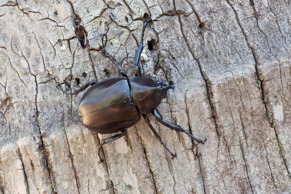 Rhinoceros Beetle (Xylotrupes gideon) adult, on tree trunk, Cairns, Queensland, Australia : Stock Photo