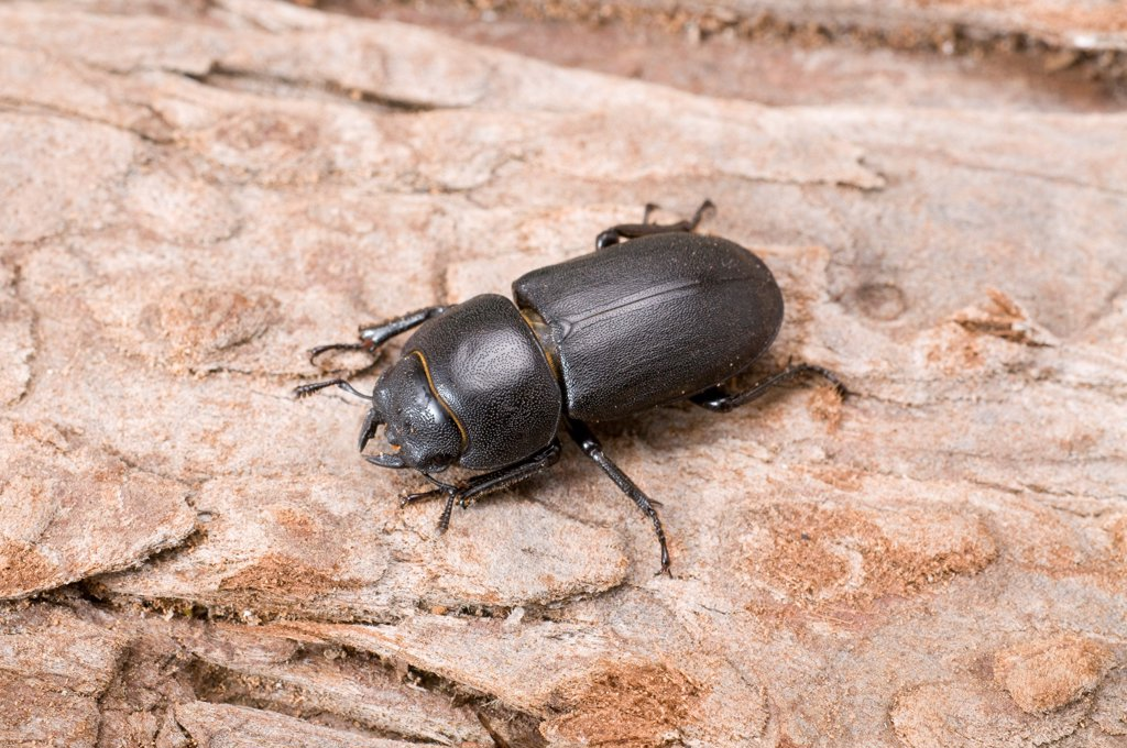 Lesser Stag Beetle (Dorcus parallelipipedus) adult, resting on tree trunk, England : Stock Photo