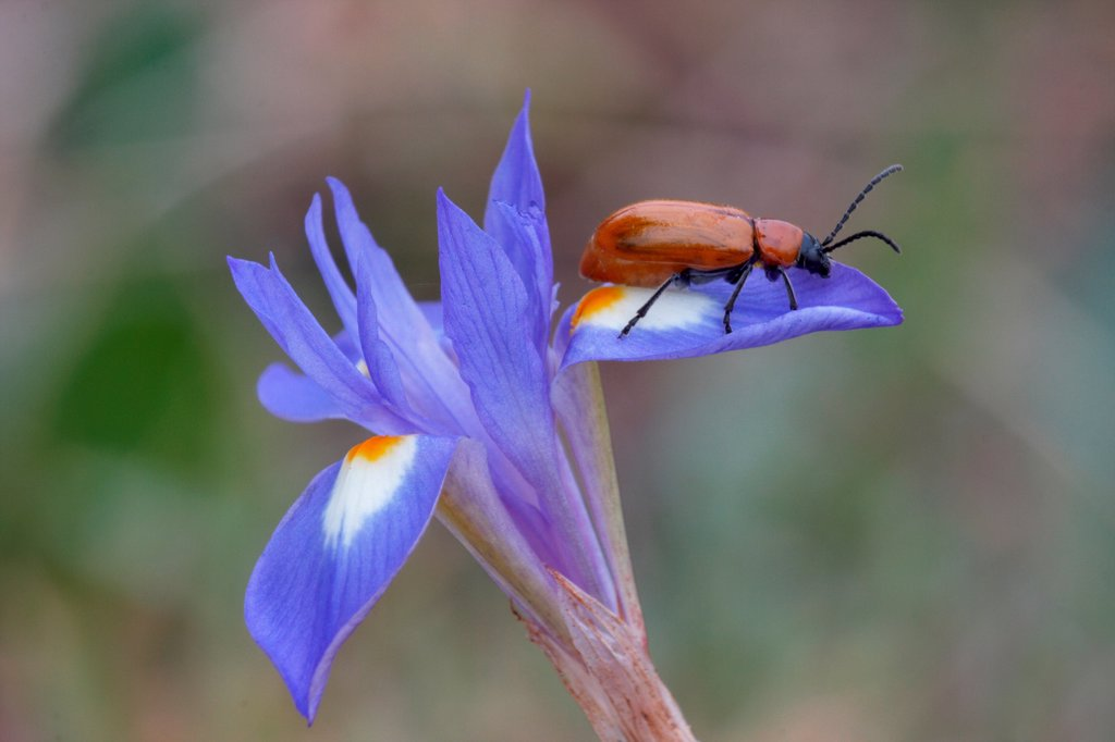 Stock Photo: 4421-25623 Sulphur Beetle (Cteniopus sulphureus) adult, resting on Barbary Nut (Gynandriris sisyrinchium) flower, Sicily, Italy, april