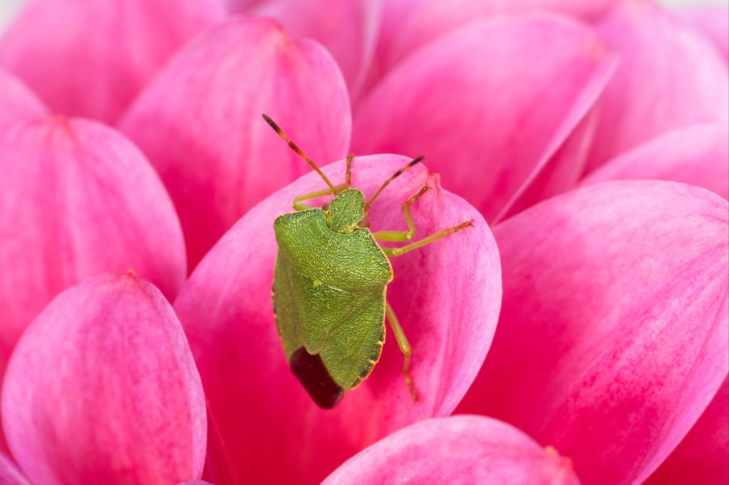 Green Shieldbug (Palomena prasina) adult, resting on pink dahlia flower, Essex, England : Stock Photo