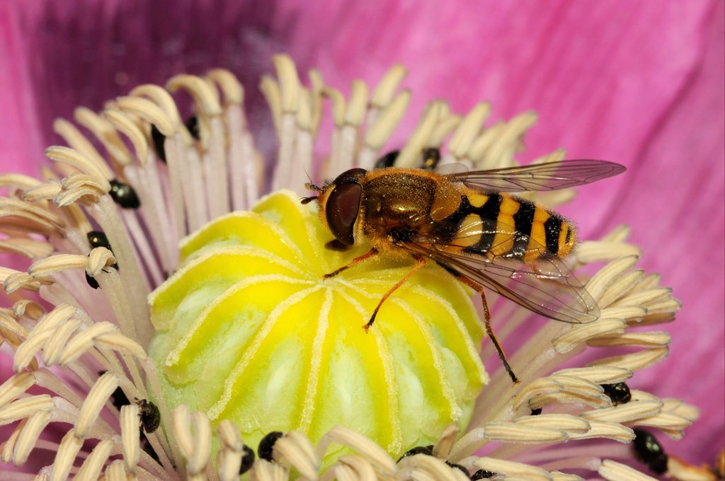Stock Photo: 4421-25998 Common Banded Hoverfly (Syrphus ribesii) adult, feeding on poppy flower in garden, Oxfordshire, England