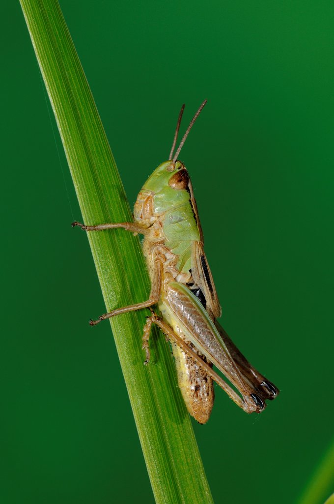 Stock Photo: 4421-26107 Meadow Grasshopper (Chorthippus parallelus) immature, resting on grass leaf, Oxfordshire, England